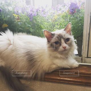 猫,お部屋,かわいい,ゆっくり,ラグドール,おすまし