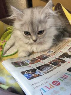 自分の記事を眺める猫の写真・画像素材[1215446]