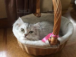 猫,お部屋,かわいい,子猫,ゆっくり,マンチカン,カゴ