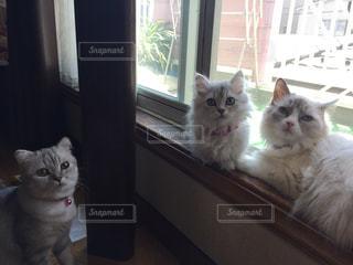 猫,お部屋,かわいい,親子,子猫,ゆっくり,ラグドール,マンチカン