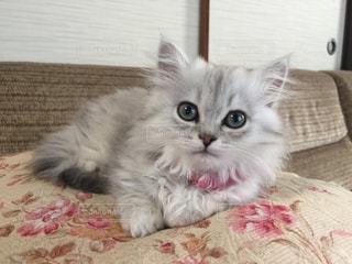 猫,動物,お部屋,屋内,かわいい,子猫,グレー,ゆっくり,おすまし,マンチカン