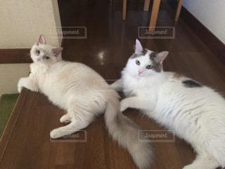 猫,動物,お部屋,屋内,かわいい,きれい,ラグドール,おすまし,ノルウェージャン