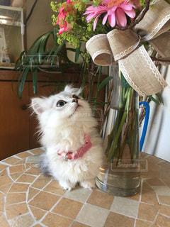 猫,動物,お部屋,屋内,きれい,子猫,グレー,おすまし,マンチカン