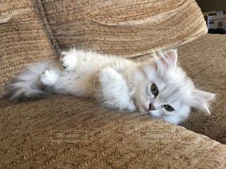 猫,動物,お部屋,屋内,かわいい,きれい,昼寝,子猫,グレー,おすまし
