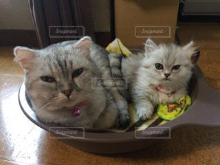 猫,動物,お部屋,かわいい,親子,子猫,グレー,おすまし,マンチカン,猫鍋