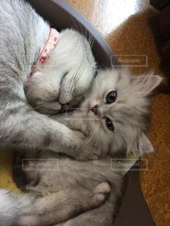 猫,動物,お部屋,かわいい,親子,昼寝,子猫,グレー,マンチカン,猫鍋