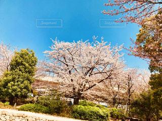 桜と青空の写真・画像素材[1101494]