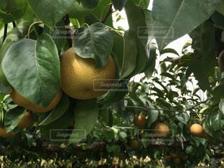 秋,屋外,緑,葉,木漏れ日,フルーツ,果物,樹木,梨,みずみずしい,果実,美味しい,新潟,果樹園,実り,果物狩り,味覚,果樹,梨狩り,豊水
