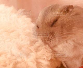 お布団の上で眠っているハムスターの写真・画像素材[875415]