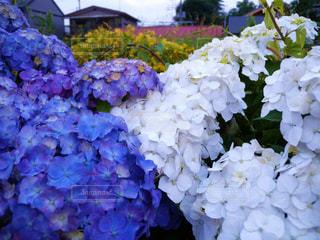 白,あじさい,青,紫,紫陽花,梅雨,アジサイ
