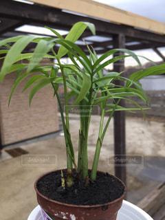 ミニ植物の写真・画像素材[965504]