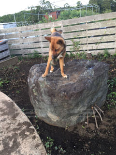 フェンスの横にある岩の上に座っている犬の写真・画像素材[1184356]