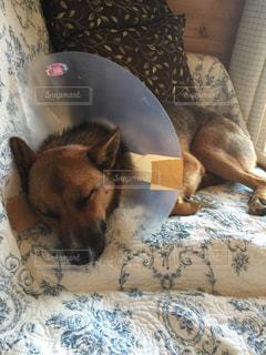 ベッドの上に横たわる大きな茶色の犬の写真・画像素材[1192909]