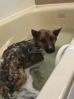 水の浴槽に座っている犬の写真・画像素材[1211557]