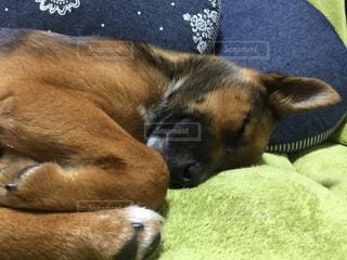 犬,動物,お部屋,茶色,部屋,室内,寝る,クッション,ソファー,リラックス,グリーン,愛犬,mix,哺乳類,ワンコ