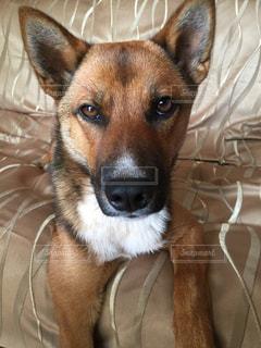 横になって、カメラを見ている犬の写真・画像素材[1226243]