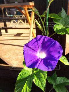植物の紫色の花の写真・画像素材[1369773]