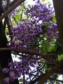 植物の紫色の花の写真・画像素材[1370099]