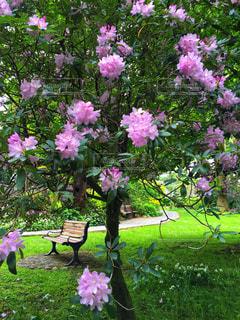 公園,花,ピンク,ベンチ,樹木,イギリス,ピンク色,桃色,湖水地方,アンブルサイド