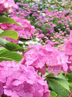 花,ピンク,あじさい,紫陽花,ピンク色,千葉県,pink,アジサイ,茂原市,服部農園,ピンクだらけ