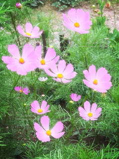 花,庭,屋外,ピンク,コスモス,葉,秋桜,自宅