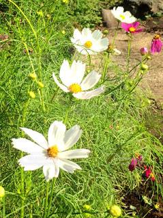 花,庭,屋外,白,コスモス,葉,秋桜,自宅