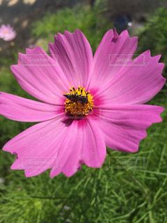 花,庭,屋外,ピンク,コスモス,葉,蜂,虫,秋桜,ハチ,自宅