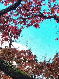風景,空,秋,紅葉,屋外,赤,雲,水色,もみじ,秋空,修善寺,空色