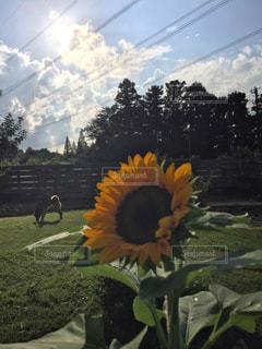 空,花,秋,芝生,庭,ひまわり,雲,樹木,塀,愛犬,秋空,9月,ガーデン