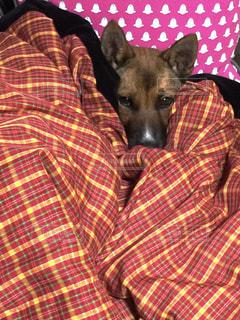 毛布の上に横たわる犬の写真・画像素材[1631450]