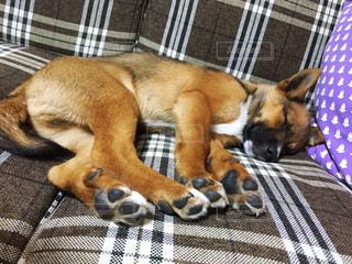 ベッドの上に横たわる犬の写真・画像素材[1631625]