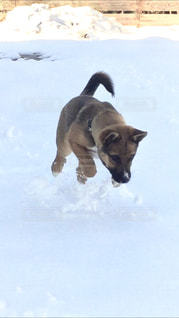犬,冬,動物,雪,庭,屋外,白,茶色,子犬,哺乳類,自宅,日中,チャオ,ホワイトカラー