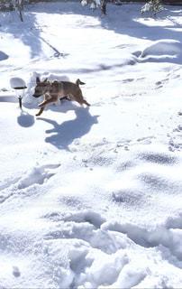 犬,自然,冬,動物,雪,庭,屋外,白,走る,愛犬,ホワイト,哺乳類,喜ぶ,積雪,自宅,日中,チャオ