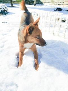 雪の中で立っている犬の写真・画像素材[1764398]