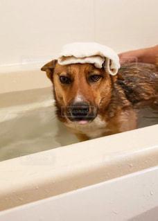 犬,動物,屋内,かわいい,茶色,いぬ,お風呂,タオル,愛犬,見つめる,保護犬,雑種,浴槽,オス,舌,千葉県,わんちゃん,自宅,気持ちいい,ワンコ,バスタブ,雄,チャオ,1歳6ヶ月