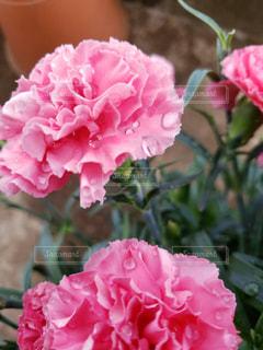 植物の上のピンクの花のクローズアップの写真・画像素材[2138028]