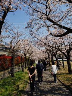 家族,公園,桜,木,芝生,屋外,晴れ,青空,晴天,後ろ姿,散歩,草,樹木,人物,人,歩道,東京都,レジャー,お散歩,お出かけ,複数,多摩市