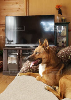 愛犬チャオの写真・画像素材[2476684]
