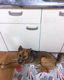 愛犬チャオの写真・画像素材[2481198]