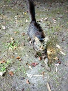 猫の写真・画像素材[31284]