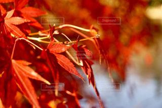 紅葉の写真・画像素材[876395]