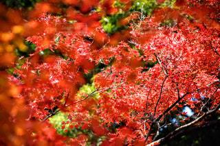 紅葉 - No.876536