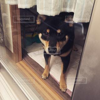 カメラを見て小さな黒い犬の写真・画像素材[982342]