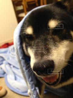 愛犬のドアップの写真・画像素材[1001541]