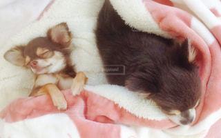モコモコで仲良くお昼寝の写真・画像素材[879413]