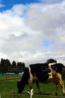 北海道の牛の写真・画像素材[887008]