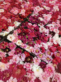牡丹の絨毯の写真・画像素材[950593]