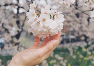桜の写真・画像素材[904996]