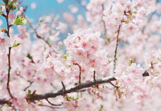 河津桜の写真・画像素材[1094774]