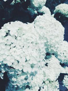花,白,紫陽花,梅雨